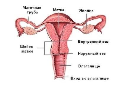 Половая система женщины