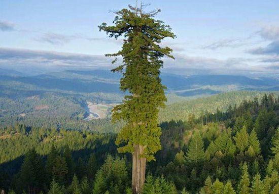 секвоя среди леса