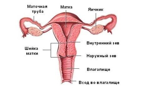 Женская половая система