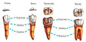 Чем моляры отличаются от премоляров, какими симптомами сопровождается прорезывание этих зубов у детей?