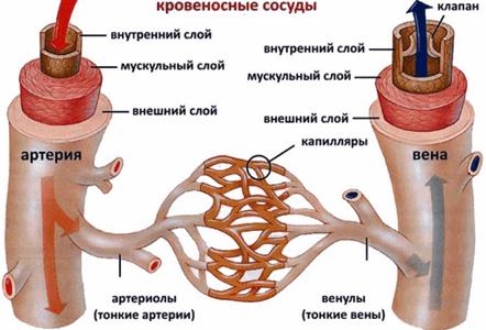Как укрепить сосуды? Улучшение состояния капилляров и сосудов