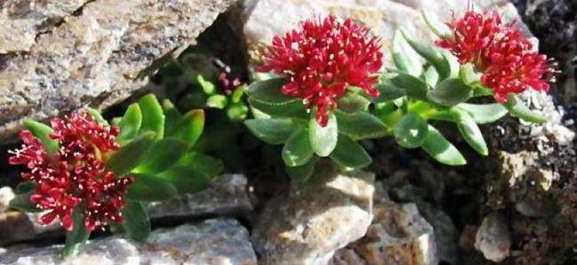 Красная щетка: лечебные свойства и применение