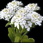 Растительный препарат Иберогаст для лечения проблем с желудком
