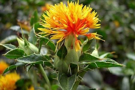 цветок салфора красильного