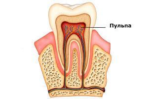 Гистология зубов: строение, функции и развитие дентина, эмали и других мягких и твердых тканей